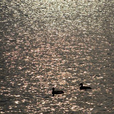 Lone ducks